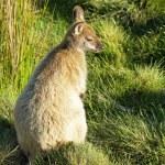 Bennett Wallaby, Australia — Stock Photo #33400103