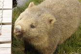 Wombat, Tasmania, Australia — Stock Photo