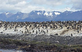 King Cormorant colony, Argentina — Stock Photo