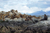 Seals, Beagle Channel, Argentina — Stock Photo