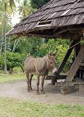 Donkey, Cane Mill, Saint Lucia — Stock Photo