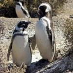Постер, плакат: Magellanic Penguin Argentina