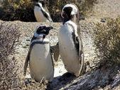 Magellanic Penguin, Argentina — Stock Photo