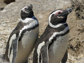 Magellanic Penguin, Argentina — Stock Photo