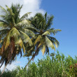 Stock Photo: Palm Trees, Guadeloupe, Caribbean