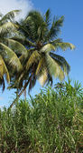 Palm Trees and Cane, Guadeloupe, Caribbean — Foto de Stock