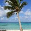 Stock Photo: Coconut tree on caribbebeach, DominicRepublic