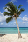 Coconut tree on caribbean beach, Dominican Republic — Stock Photo