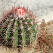 Stock Photo: Cactus, Aruba, ABC Islands