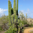 Stock Photo: Vegetation of Aruba, ABC Islands
