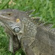 Stock Photo: Green Iguana, Aruba, ABC Islands