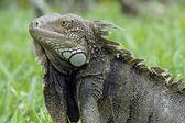 绿鬣蜥,阿鲁巴,abc 群岛 — 图库照片
