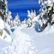 Spruce in the snow. - Stock Photo