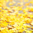 Vibrant yellow autumn maple leaves - Stock Photo