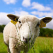 Stock Photo: Inquisitive sheep grazing on grass