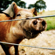 Inquisitive brown pig — Stock Photo