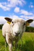Zvídavý ovce pasoucí se na trávě — Stock fotografie