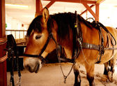 Draft horse standing in a stable — Stock Photo