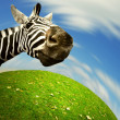Curious zebra face looking into the camera — Stock Photo #19616909
