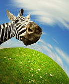 Curious zebra face looking into the camera — Stock Photo