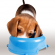 Eating beagle puppy portrait — Stock Photo
