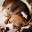 Stock Photo: Sweet sleeping beagle puppy