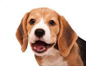Beagle-welpen-porträt — Stockfoto