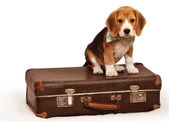 Little puppy sitting on the suitcase — Stock Photo