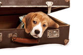 Cute beagle puppy into the old suitcase — Stock Photo