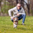 Running beagle puppy on the walk — Stock fotografie