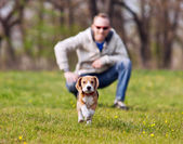 Running beagle puppy on the walk — Stok fotoğraf