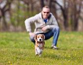 Running beagle puppy on the walk — Stock Photo