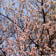 Spring blossom apricot tree — Stock Photo