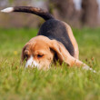 Playful beagle puppy in grass - Stock Photo
