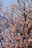 Spring blossom apricot tree — Stock Photo