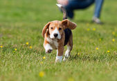 Running beagle puppy at the walk — Stockfoto