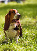 Basset hound sitting in green grass — Stock Photo