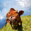 Funny cow snout — Stock Photo