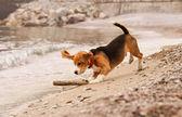 Cucciolo di beagle giocare con il bastone — Foto Stock