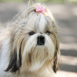 Shih Tzu Dog portrait — Stockfoto