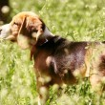 Beagle puppy — Stock Photo #26316125