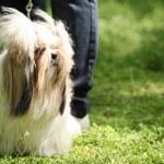 shih tzu pies portret — Zdjęcie stockowe #26316139
