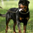 Deutsch Rottweiler Guard Dog — Stock Photo #26316163