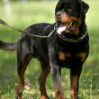 Stock Photo: Deutsch Rottweiler Guard Dog