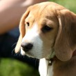 Beagle puppy — Stock Photo