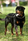 Deutsch Rottweiler Guard Dog — Stock Photo