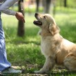 Golden Labrador retriever — Stock Photo