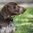 German shorthaired pointer dog outside — Stock Photo