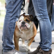 Stock Photo: Kissing couple with walking English Bulldog