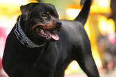 Deutsch Rottweiler Guard Dog — Stock Photo